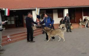2013.10.05. Pásztorkutyás Találkozó, Abszolút Győztese ,Karabas Restelicki Sarplaninac Kan