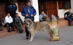 2013.10.05. Pásztorkutyás Találkozó,Legjobb Felnőtt Kan, Karabas Restelicki